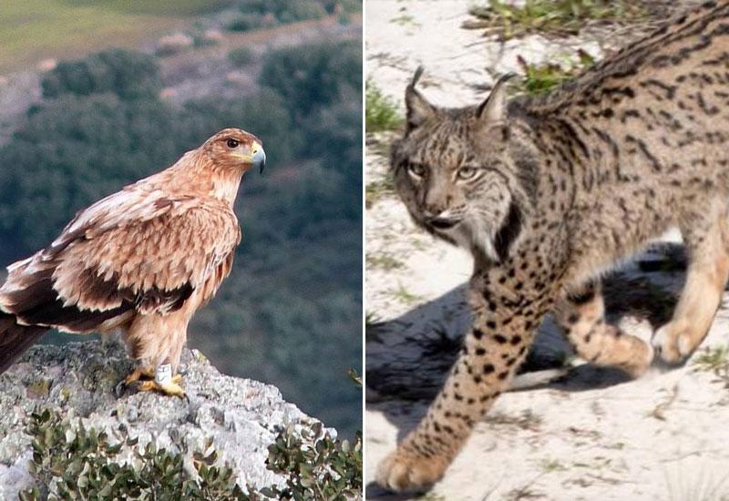 Águila imperial | Lince ibérico